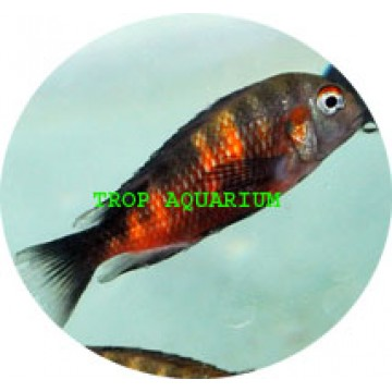 Tropheus moorii-bulu point